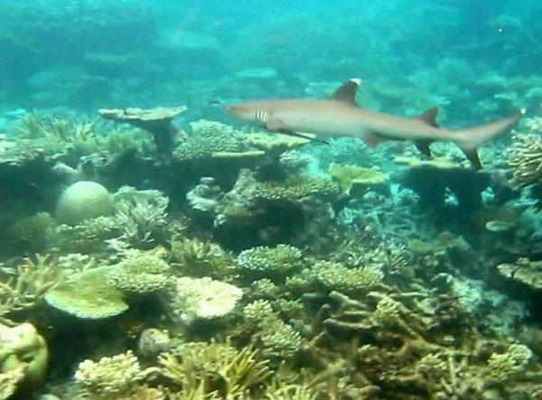 Shark Park Maldives